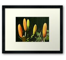 Orange Tiger Lily Buds  Framed Print