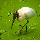 Woodstork in the Swamp by Rosalie Scanlon