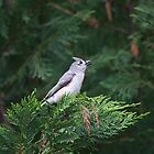 Tufted Titmouse by Sherri Hamilton