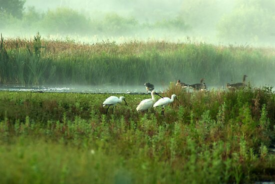 Spoonbills in my backyard by steppeland