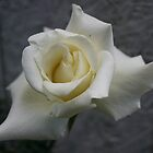J.F.K Memorial Rose by Justinsayne