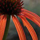 Echinacea by Denitsa Dabizheva