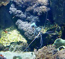 Blue spiny lobster by KERES Jasminka
