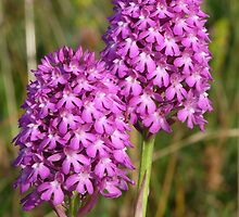 Pyramidal Orchids by SAngell