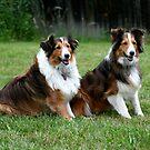 Cassidy & Sundance III - Shelties/Shetland Sheep Dogs by Cheri Perry
