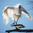 Royal Spoonbill ~ Lets Shimmy Shimmy Shake by Robert Elliott