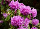 Pink Rhododendrons by Sandy Keeton