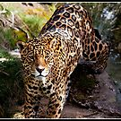 Jaguar at Chester Zoo by Shaun Whiteman