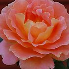 Just a Peachy Rose! by Geraldine Miller