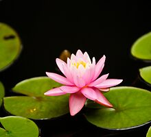 Pink Lily Pad by Daniel Ross