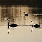 Swans on Curlew - Lake Curlew, NSW by Gregory McInnes