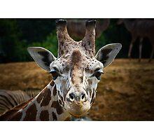 Giraffe Portrait .......  Photographic Print