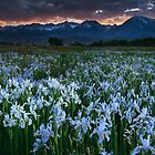 Wild Iris and Sierra Sunset by Nolan Nitschke