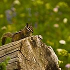 Townsend's Chipmunk on a Log by Jeff Goulden