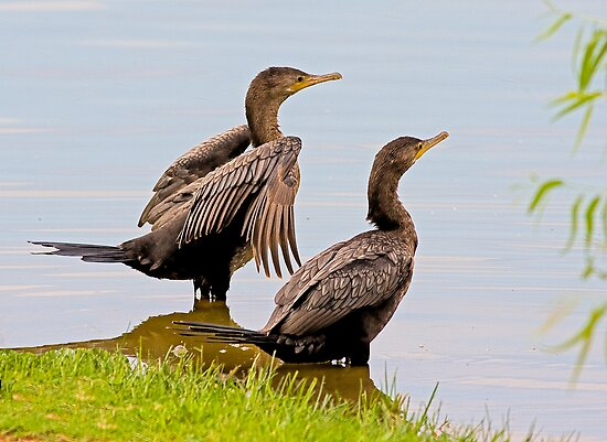Cormorants by Marvin Collins