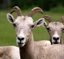 Bighorn Sheep by Kimberly Palmer