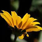 Daisy Silouette by Len Bomba