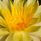 heart of a yellow water lily by patrick pichard