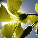 Bermuda-Buttercup In The Sun by Jon Staniland