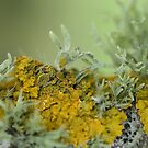 Lichen by Matthew Walters