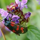 Burnet Moth by Martina Fagan