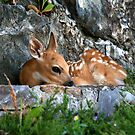 Whitetail Fawn by fortner