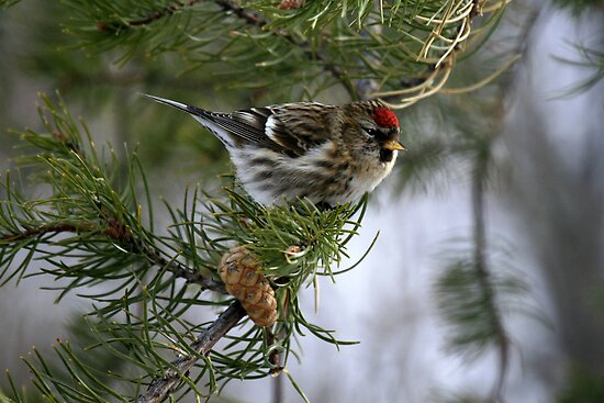 """ Common Redpoll  "" by fortner"