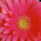 Pink Gerbera Daisy by Suz Garten