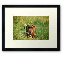 Labrador in Kansas Pasture Framed Print