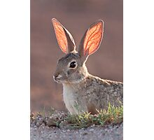 Cottontail Rabbit Photographic Print