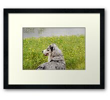 Australian Shepherd Gazes at Pond Framed Print