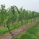 Sag Harbor Vineyards by Margie Avellino