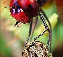 Dragon Fly macro by AroonKalandy