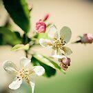 lightness of a rose by narelle sartain