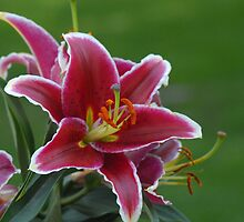 Stargazer Lily by Kate Adams