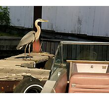 heron in the boathouse Photographic Print