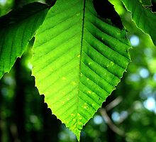 Backlit beech leaf by Patty Gross