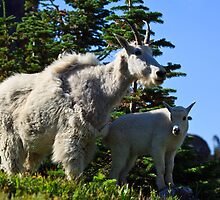 Mountain Goats by Dick Paige