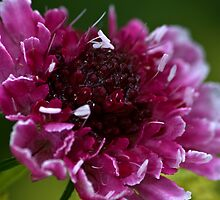 Pincushion Flower by Mike Freedman