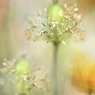 Papaver pastels by Mandy Disher