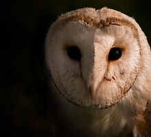 Barn Owl by Paul Cook