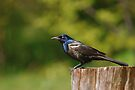 Common Grackle by Renee Dawson