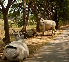 Burmese Cows by quotidianphoto