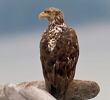 Portrait of a Young Eagle by David Friederich