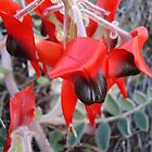 Sturt's Desert Pea - Just Open by Keith Russell