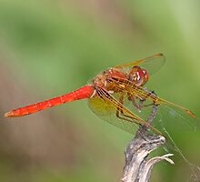 Sympetrum illotum (Cardinal Meadowhawk) by Jim Johnson