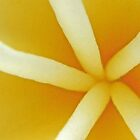 Frangipani Spokes by ShotsOfLove
