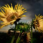 Sunflowers at dusk by Stevacek