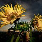 Sunflowers at dusk by Stevacek