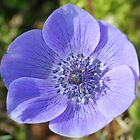 Anemone Flower, Blue by Saffron2287